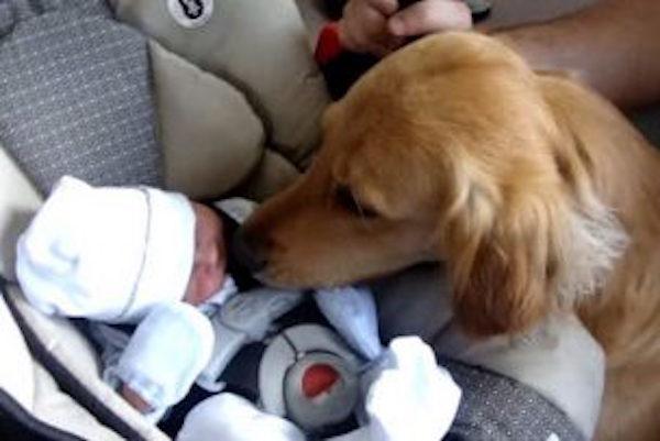 これって犬のせいか?!赤ちゃんを殺したゴールデンレトリバーの末路