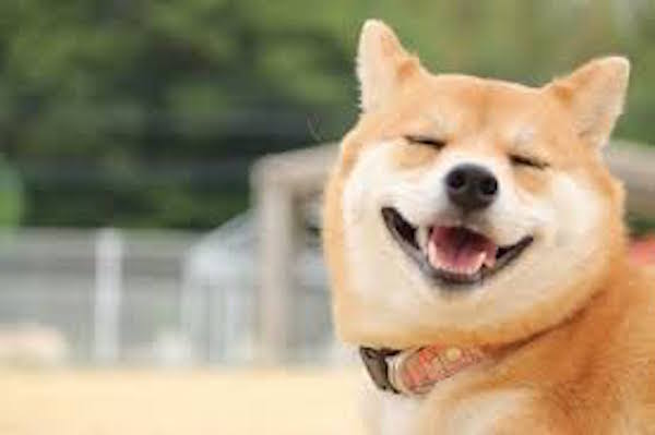 柴犬は海外でも大人気の犬!英語でシバイヌって言うって知ってたw?