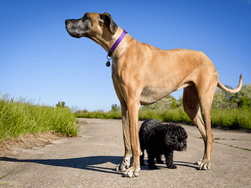 犬,グレードデーン